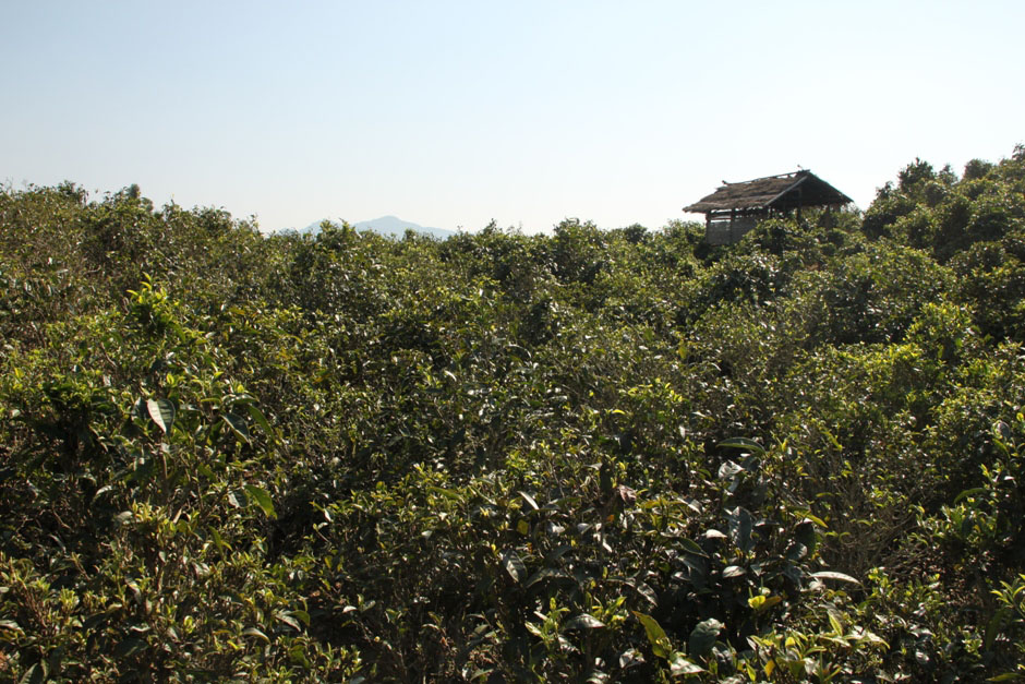 The tea garden near Ban Payasi village